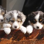 choosing the greatest puppy for your life